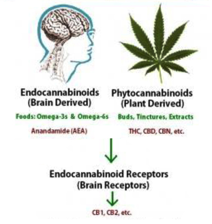 how cannabis works